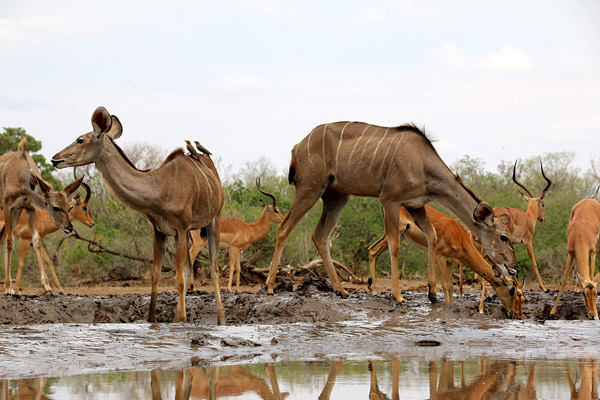Tasimba - You Can Hide - Antelope at waterhole