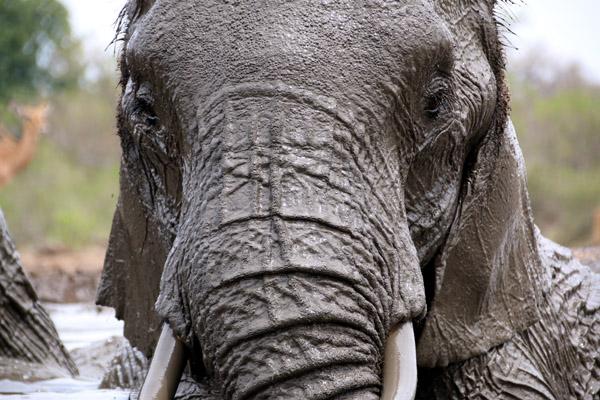 Tasimba - You Can Hide - Elephant at waterhole