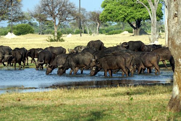 Tasimba - You Can Hide - Buffalo at waterhole