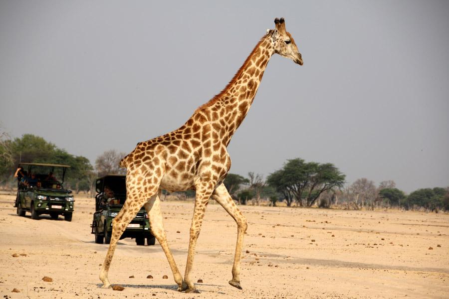 Tasimba Amazing Giraffe Safari