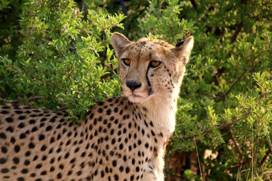 Tasimba Safari cheetah