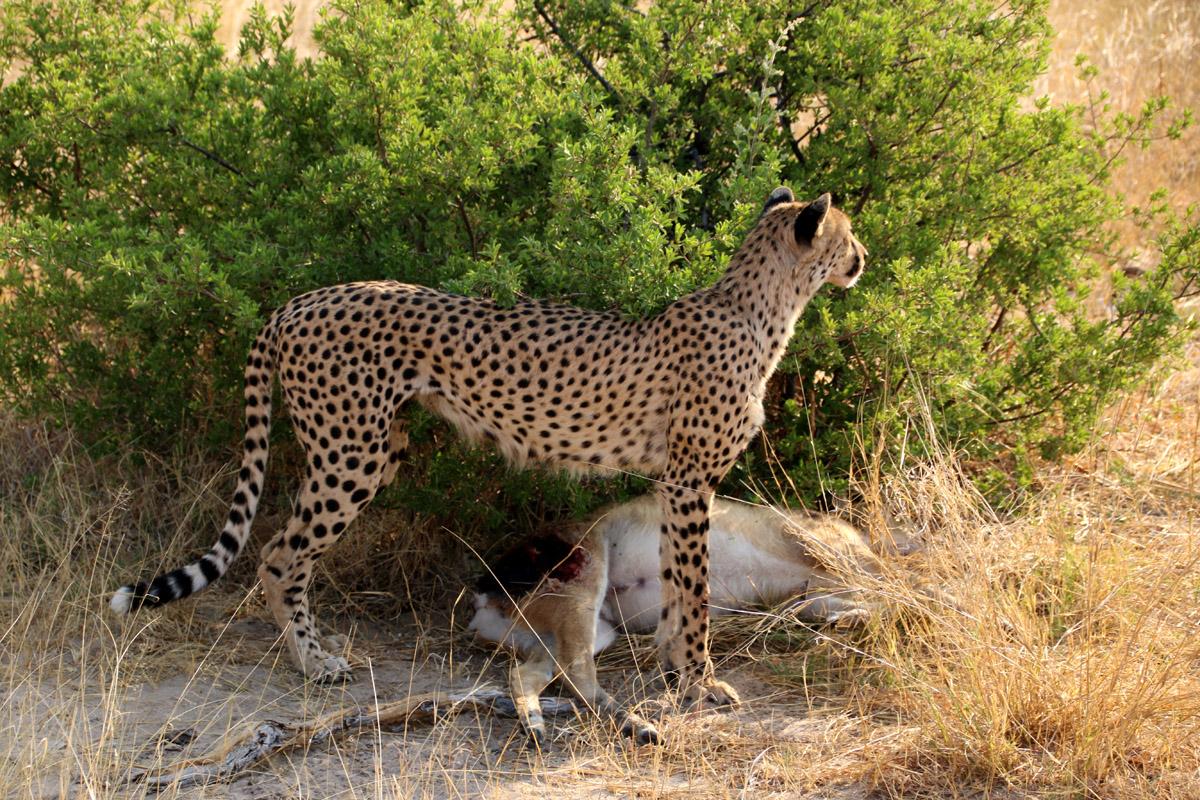 Tasimba-Cheetah