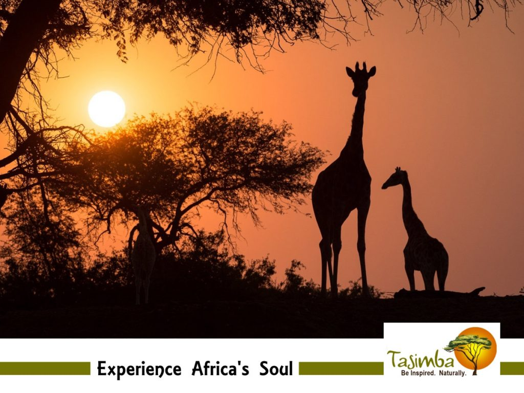 Tasimba Experience Africa's Soul Deep Immersion Giraffe Sunset
