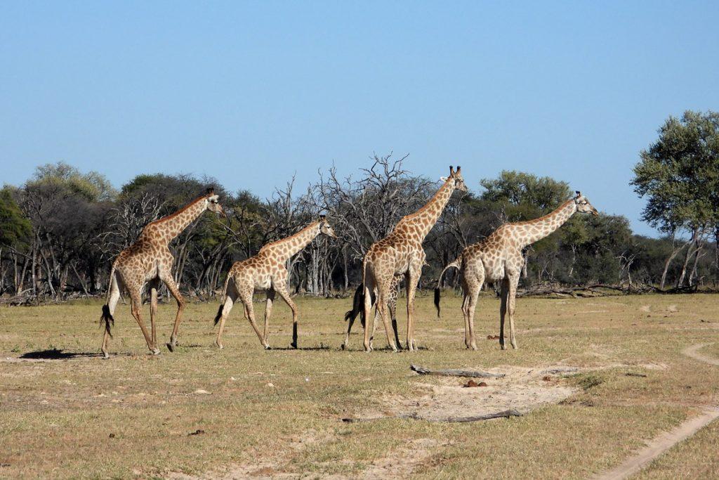 Tasimba - Out of Africa - Giraffe
